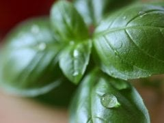 the herb habit: basil