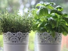 thyme and basil